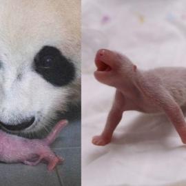 Filhote-panda-gigante-close-696x487